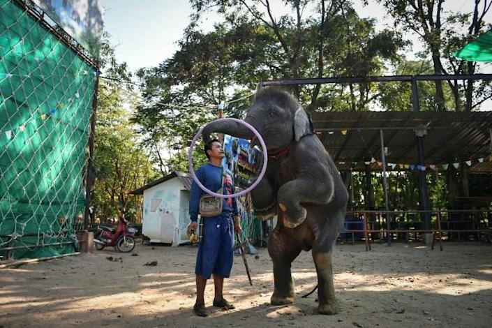 """Young elephants are """"broken"""" to interact with tens of millions of tourists who visit Thailand every year, many eager to capture social media-worthy encounters of the kingdom's national animal playing sports, dancing and even painting (AFP Photo/Lillian SUWANRUMPHA)"""