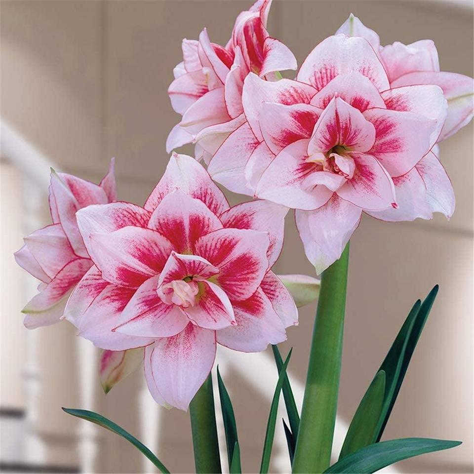 <p>This gorgeous <span>Amaryllis</span> ($11) can be planted in a small pot, but still produces large flowers.</p>