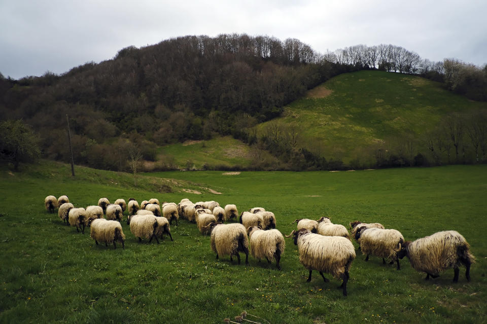Sheep graze near St. James Way in Roncesvalles, northern Spain, April 10, 2021. The pilgrims are trickling back to Spain's St. James Way after a year of being kept off the trail due to the pandemic. Many have committed to putting their lives on hold for days or weeks to walk to the medieval cathedral in Santiago de Compostela in hopes of healing wounds caused by the coronavirus. (AP Photo/Alvaro Barrientos)