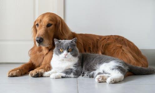 "<span class=""attribution""><a class=""link rapid-noclick-resp"" href=""https://www.shutterstock.com/image-photo/golden-retriever-british-shorthair-lying-on-1677137974"" rel=""nofollow noopener"" target=""_blank"" data-ylk=""slk:Shutterstock/Chendongshan"">Shutterstock/Chendongshan</a></span>"