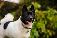 "<p><a href=""https://www.akc.org/dog-breeds/akita"" rel=""nofollow noopener"" target=""_blank"" data-ylk=""slk:Akitas"" class=""link rapid-noclick-resp"">Akitas</a> are quiet, fastidious dogs. The large, independent-thinking Akita is hardwired for protecting those in their pack, so they often need training to keep his intolerance of strangers in check, but this breed makes for a very loving and loyal addition to the family.</p>"