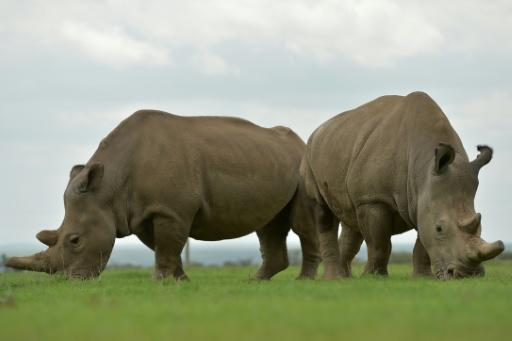 Najin (L) and Fatu, the only two remaining female northern white rhinos graze together in their paddock on March 20, 2018 in Kenya