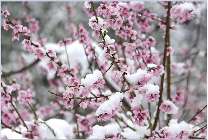 Pink blossom petals that emerged during the early spring are now covered in snow to remind us that we are still in winter Monday morning, March 16, 2020, in Nevada City, California.