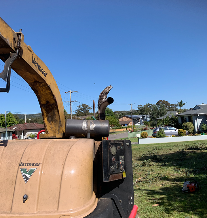A tawny frogmouth perched on a wood chipper after the last tree was felled in the Killarney Vale street. Source: Michael Dahlstrom