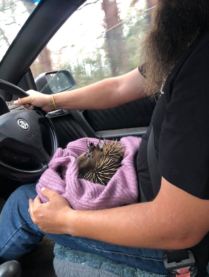 The echidna, pictured upside down on a man's lap, was transported on its back to the vet, which helped control the bleeding. Source: Supplied