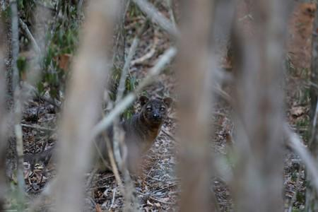 A fossa is seen at the Kirindy forest reserve near the city the of Morondava