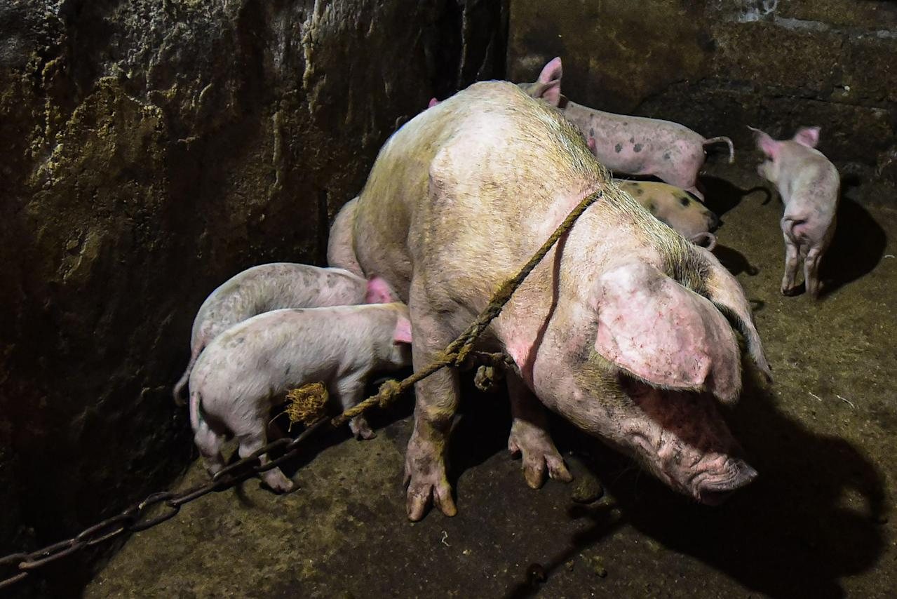 Philippine Farm Official Warns Hog Traders As Swine Fever
