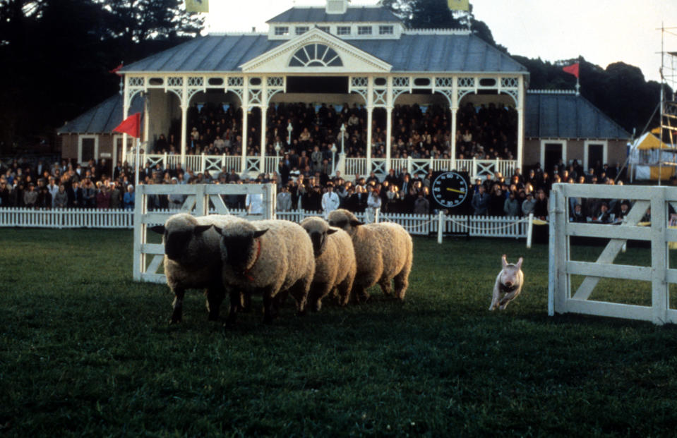 Babe running past sheep in a scene from the film 'Babe', 1995. (Photo by Universal/Getty Images)
