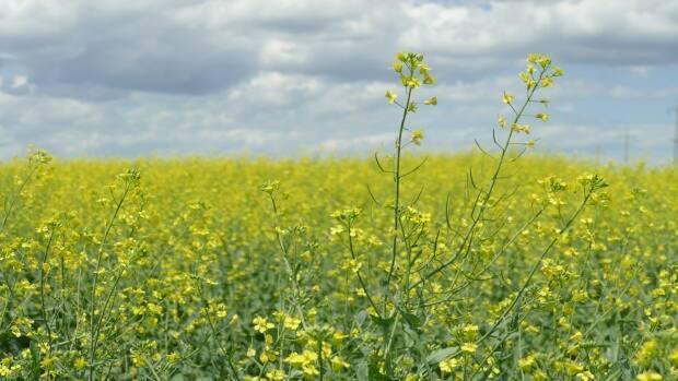 Growing demand for canola products was credited for the decision to build a processing plant in Northgate, Sask. (Riley Laychuk/CBC - image credit)