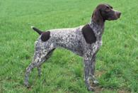 """<div class=""""caption-credit""""> Photo by: MARY BLOOM</div><div class=""""caption-title"""">German Shorthaired Pointer</div>Few breeds are more demanding of their owner's energy and attention than the <a href=""""http://www.vetstreet.com/dogs/german-shorthaired-pointer"""" rel=""""nofollow noopener"""" target=""""_blank"""" data-ylk=""""slk:German Shorthaired Pointer"""" class=""""link rapid-noclick-resp"""">German Shorthaired Pointer</a>. This talented hunting dog is energetic, strong and challenging. He's a natural in high-drive dog sports and a perfect companion (overall health permitting, of course) for long runs and strenuous hikes. German Shorthairs require daily sessions of heart-pumping exercise and plenty of training to keep them under control."""