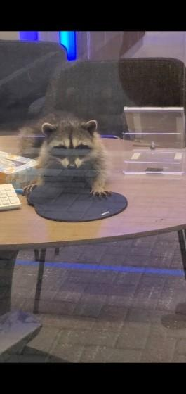 Two raccoons broke into a Redwood City Chase Bank Monday night, stealing almond cookies as their bounty.