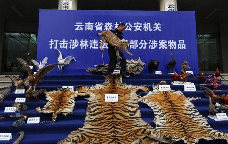 A police officer carries a stuffed lynx specimen as he arranges confiscated rare wild animal products displayed at the courtyard of a police station in Kunming, Yunnan province, China January 22, 2014.  REUTERS/Wong Campion/File Photo