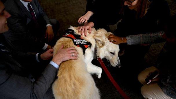 PHOTO: Swiss Shepherd therapy dog, Sampson, greets Congressional staff during a 'Meet the Pets: Destress with Post-Election Therapy Dogs' event on Nov. 13, 2019, in Washington. (Mark Makela/Getty Images)