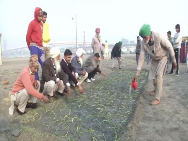 Some of the protesting farmers in the national capital have sown onion crops at the protest venue [Photo/ANI]