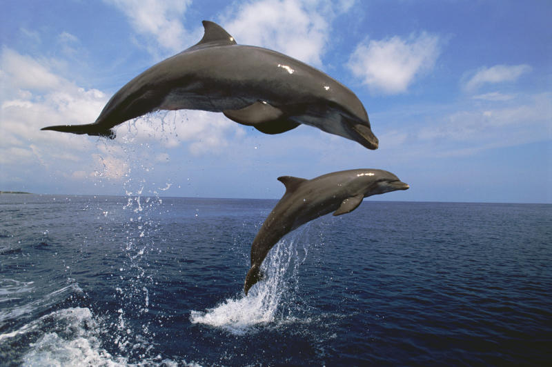 Two Bottlenose Dolphins Leaping from the Water