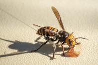 In photo provided by the Washington State Dept. of Agriculture, an Asian Giant Hornet wearing a tracking device is shown Thursday, Oct. 22, 2020 near Blaine, Wash. Scientists have discovered the first nest of so-called murder hornets in the United States and plan to wipe it out Saturday to protect native honeybees, officials in Washington state said Friday, Oct. 23, 2020. (Karla Salp/Washington Dept. of Agriculture via AP)