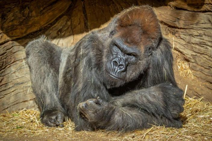 Gorilla sits after two of its troop tested positive for COVID-19 after falling ill at the San Diego Zoo Safari Park
