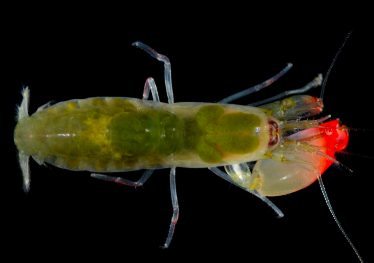 Pistol shrimps have the ability to generate a huge amount of volume (PA)