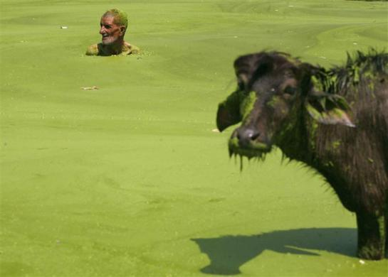 A man swims in the polluted waters of a pond next to his buffalo on World Environment Day on the outskirts of Jammu June 5, 2012.