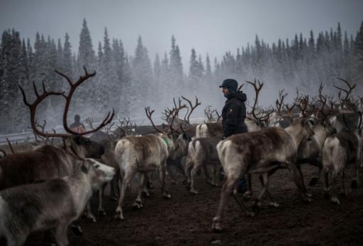 Previously victims of victims of a brutal assimilation policy in Sweden, the Sami people herd reindeer in the country's far north