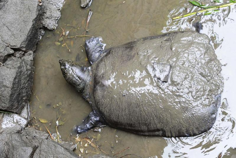 World's Rarest Giant Turtle Loses Last Known Female, All But Guaranteeing Extinction