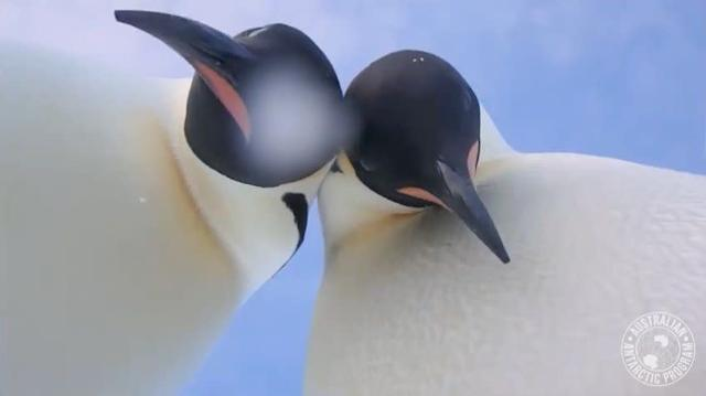 A screenshot of a video taken at the Auster Rookery in Antarctica.