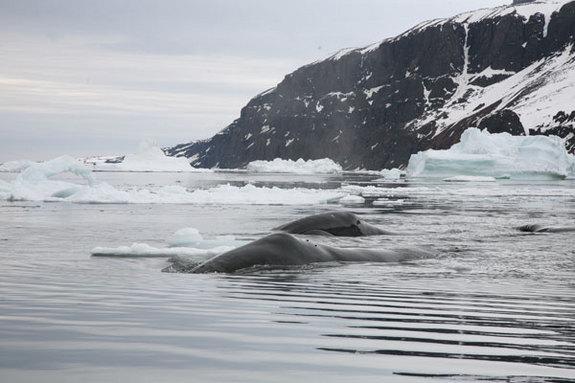 Two bowhead whales in Disko Bay, West Greenland
