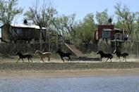 Horses gallop along a tributary of the Parana river that has been left almost dry by falling water levels (AFP/JUAN MABROMATA)