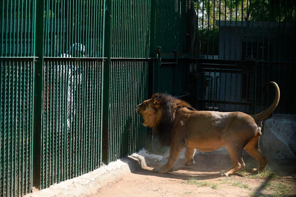 An Asiatic lion reacts as a worker of the Kamla Nehru Zoological Garden wearing protective gears sprays disinfectant during a government-imposed nationwide lockdown as a preventive measure against the spread of the coronavirus (AFP via Getty Images)
