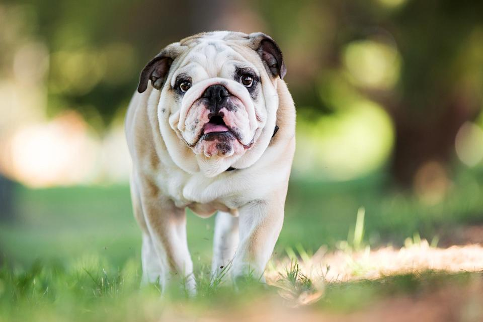 "<p>The <a href=""https://www.akc.org/dog-breeds/bulldog/"" rel=""nofollow noopener"" target=""_blank"" data-ylk=""slk:Bulldog"" class=""link rapid-noclick-resp"">Bulldog</a> is an easygoing breed that isn't one to bark. These dogs have a blocky build and furrowed brow that is distinctive; despite their gruff and tough exterior, they make loyal companions who are just as happy to sit in your lap.</p>"