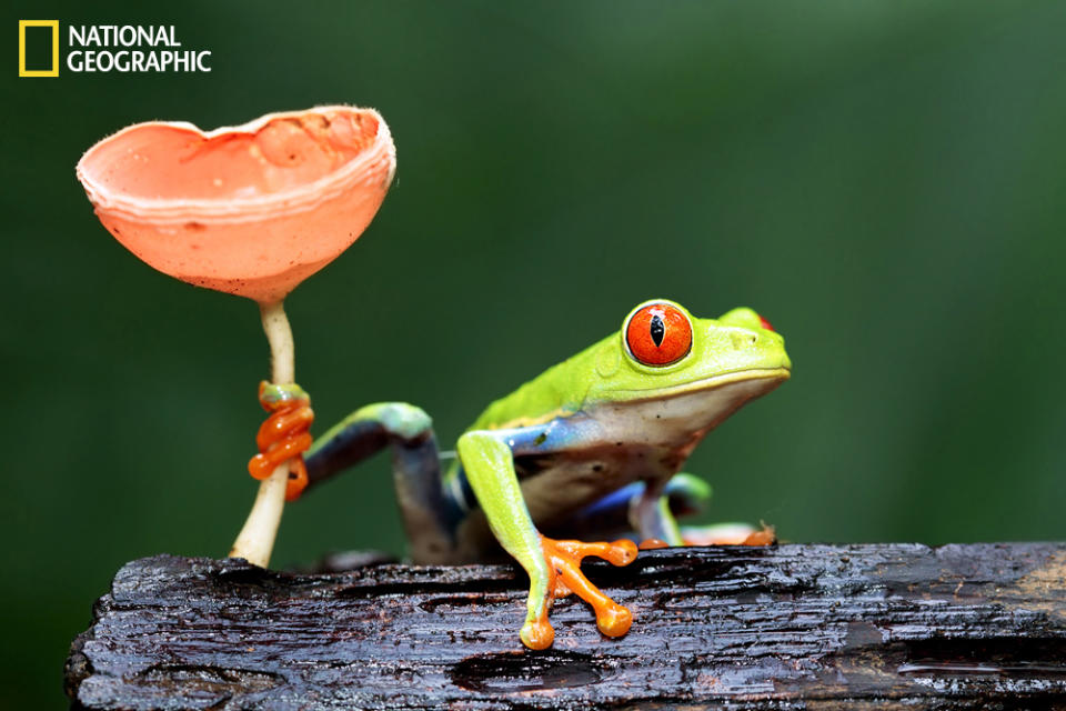 "Wild red-eyed tree frog in Sarapiqui, Costa Rica. (Photo and caption Courtesy Megan Lorenz / National Geographic Your Shot) <br> <br> <a href=""http://ngm.nationalgeographic.com/your-shot/weekly-wrapper"" rel=""nofollow noopener"" target=""_blank"" data-ylk=""slk:Click here"" class=""link rapid-noclick-resp"">Click here</a> for more photos from National Geographic Your Shot."