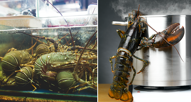 Split screen. Left - lobsters in a tank. Right - a lobster crawling out of a pot.