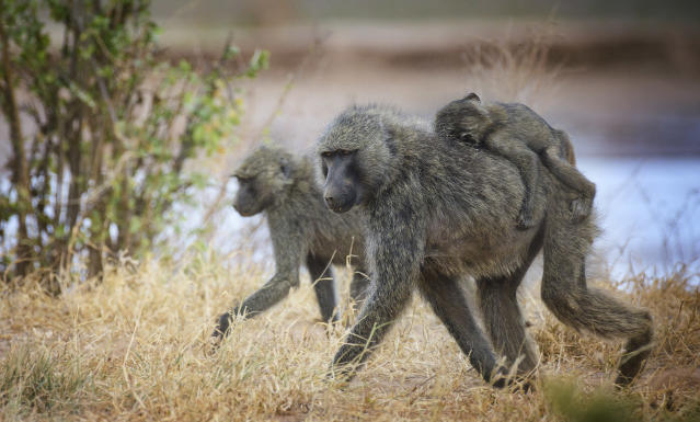 A young family of Baboon with baby on Mom's back along the river at Samburu, Kenya in July.