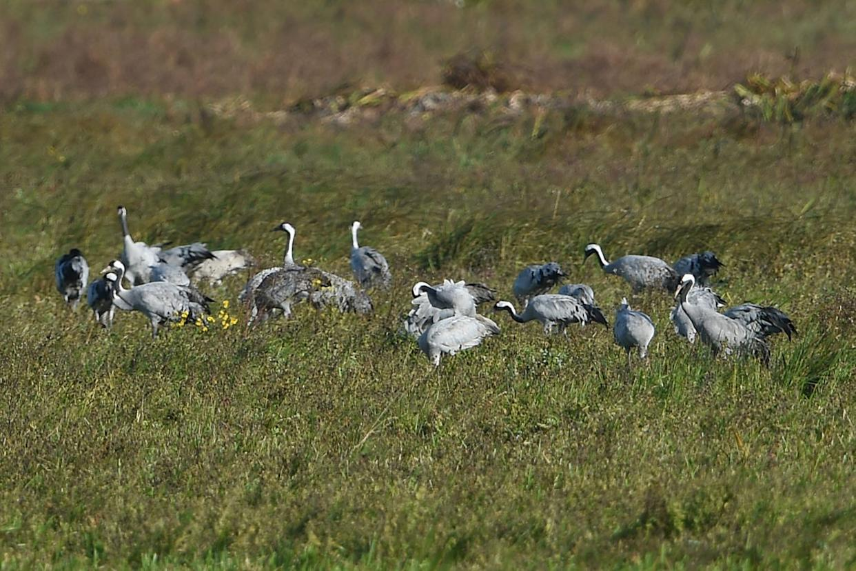 Some of the 33 cranes that have made the Wildfowl & Wetlands Trust centre at Welney in Norfolk their home in recent days (Joe Giddens/PA Wire)