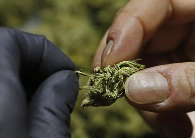 """FILE - In this Thursday, Oct. 13, 2016 file photo, a woman trims """"little buds"""" from last season's harvest at her home near Laytonville, Calif., in Mendocino County. In Calaveras County, a rural California county already in turmoil over a massive influx of marijuana growers, the county auditor is accusing the sheriff of misspending some of the $1 million his department received in fees from legal pot growers to go after illegal operators. (AP Photo/Rich Pedroncelli, File)"""