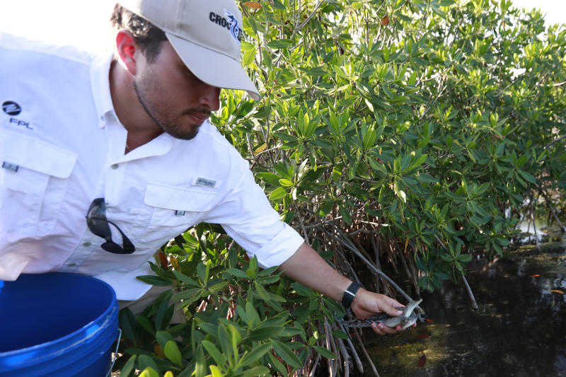Wildlife biologist/crocodile specialist Michael Lloret releases baby crocodiles back into the wild along the cooling canals next to the Turkey Point Nuclear Generating Station after having measured and tagged them with microchips to observe their development in the future, Friday, July 19, 2019, in Homestead, Fla. The 168-miles of man-made canals serve as the home to several hundred crocodiles, where a team of specialists working for Florida Power and Light (FPL) monitors and protects the American crocodiles. (AP Photo/Wilfredo Lee)