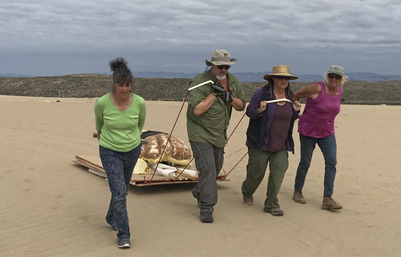 """In this Nov. 2, 2017 photo provided by the Guadalupe-Nipomo Dunes Center an excavation crew uses surfboards fastened to plywood as a sled to remove a plaster sphinx head from the dunes in Guadalupe, Calif. Archaeologists working in sand dunes on the central California coast have dug up an intact plaster sphinx that was part of an Egyptian movie set built more than 90 years ago for filming of Cecil B. DeMille's 1923 epic """"The Ten Commandments."""" (Guadalupe-Nipomo Dunes Center via AP)"""