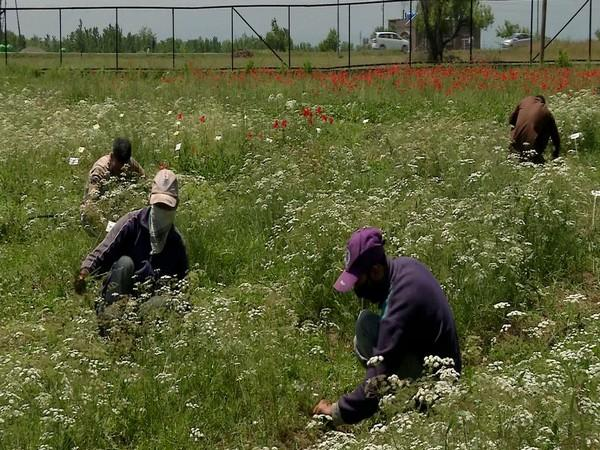 Black cumin cultivation at the research centre in Pampore. (Photo/ANI)