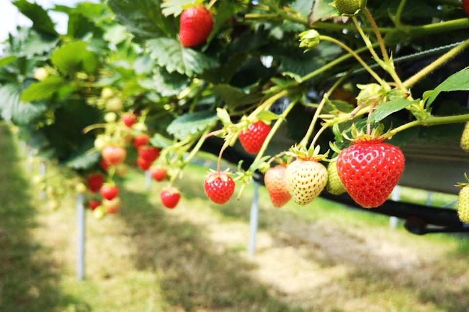 Strawberries growing. Source: Getty Images
