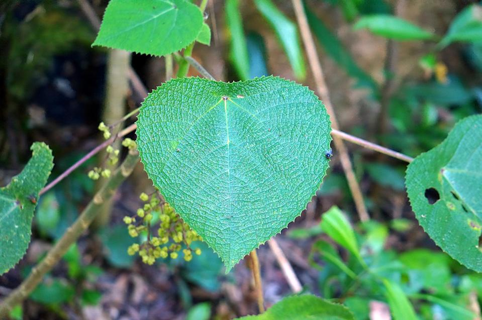 Typical leaf from a stinging bush found in eastern Australia, Papua New Guinea and Indonesia.  Known as Gympie-gympie in Australia and salat in Papua New Guinea, contact with this leaf can result in human death, more often extreme pain that can last for months.  Stinging hairs deliver a potent neurotoxin when touched.  Leaf has medicinal purposes in some PNG tribes.  Scientific name is Dendrocnide moroides.
