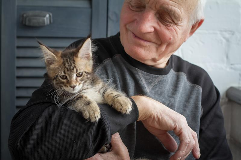 An elderly man holds a Maine Coon kitten and smiles to him, selective focus, free space for text.