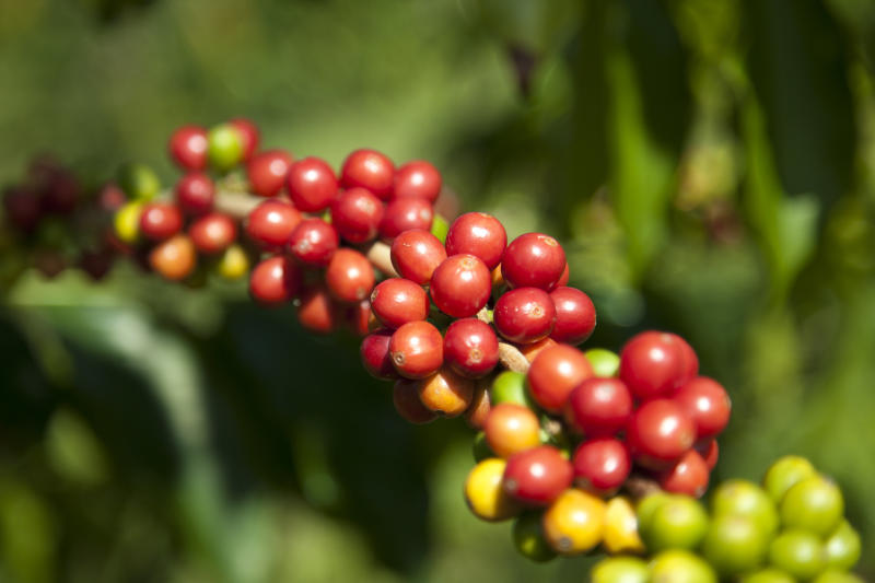 The cherries on a coffee plant don't all ripen at the same time, so small farmers have to revisit the crop several times each harvest, whereas factory farms pull the cherries from the trees all at once. (John S Lander via Getty Images)