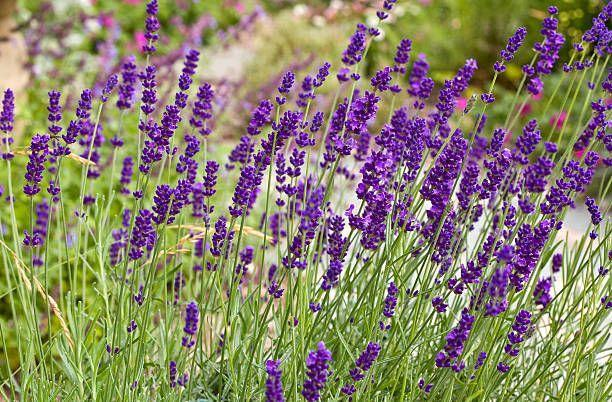 "<p>If you've seen the lavender fields in Provence, you know this sweetly-scented perennial with purple or blue flowers looks amazing planted en masse. It doesn't like wet feet, so make sure the soil is well-drained. It needs full sun to flourish.</p><p><a class=""link rapid-noclick-resp"" href=""https://go.redirectingat.com?id=74968X1596630&url=https%3A%2F%2Fwww.etsy.com%2Flisting%2F291021143%2Fenglish-lavender-vera-seeds-choose&sref=https%3A%2F%2Fwww.goodhousekeeping.com%2Fhome%2Fgardening%2Fg32440508%2Fbest-ground-cover-plants%2F"" rel=""nofollow noopener"" target=""_blank"" data-ylk=""slk:SHOP NOW"">SHOP NOW</a></p>"
