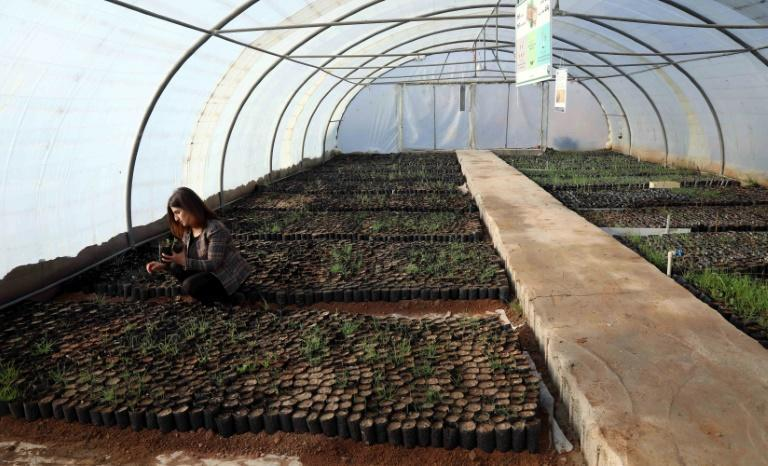 The oak seedlings growing in an Arbil greenhouse will be re-planted in mountains selected by the Kurdish agriculture ministry