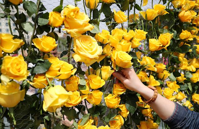 A woman decorates a fence with yellow roses in support of imprisoned pro-independence leaders during Sant Jordi's day at Catalunya square in Barcelona, Spain April 23, 2018. REUTERS/Albert Gea
