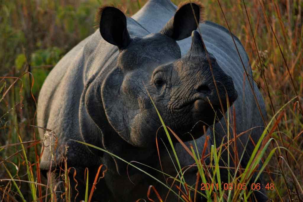 "The endangered Great Indian One-horned Rhinoceros at Jaldapara, Assam <br>By <a target=""_blank"" href=""http://www.flickr.com/photos/roxan11/"">Roxan11</a>"