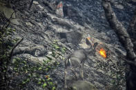In this photo provided by the Santa Barbara County Fire Department, a deer scurries near a recently burned area off Refugio Rd., in Goleta, Calif., on Tuesday, Oct. 12, 2021. (Mike Eliason/Santa Barbara County Fire Department via AP)