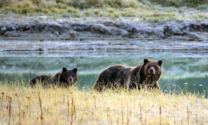 """<span class=""""element-image__caption"""">The Trump administration rolled back key provisions of the Endangered Species Act, a law credited with saving the gray wolf, bald eagle and grizzly bear.</span> <span class=""""element-image__credit"""">Photograph: Karen Bleier/AFP via Getty Images</span>"""