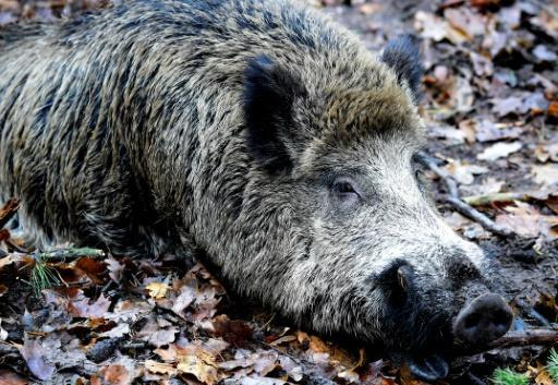 <p>The new Berliners: wild boars thrive in German capital</p>