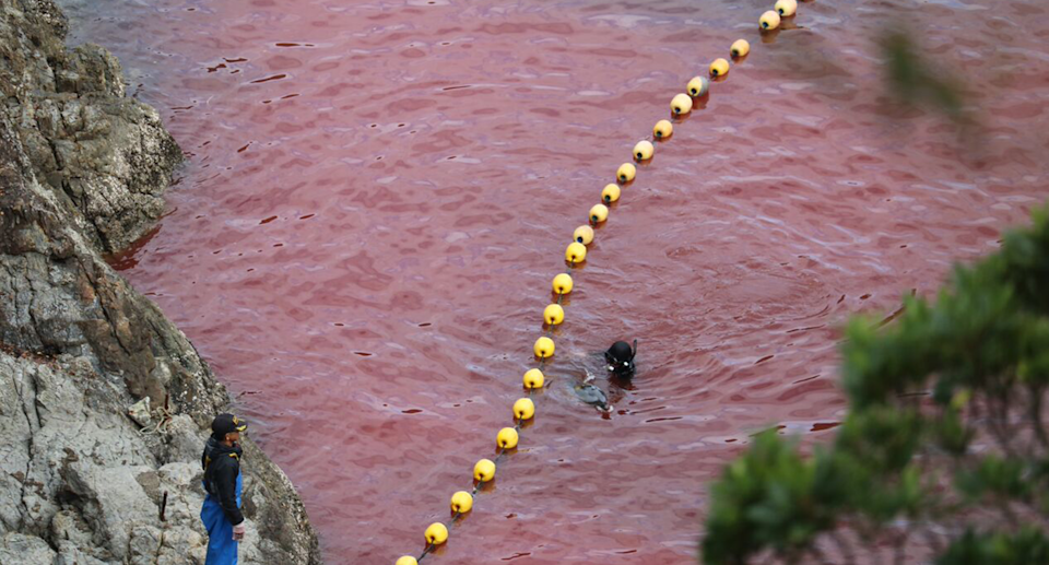 Dolphin campaigner Ric O'Barry is haunted by scenes of dolphin slaughter in Taiji, Japan. Source: Dolphin Project
